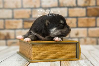 puppy82 week1 BowTiePomsky.com Bowtie Pomsky Puppy For Sale Husky Pomeranian Mini Dog Spokane WA Breeder Blue Eyes Pomskies Celebrity Puppy web2