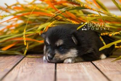 puppy82 week3 BowTiePomsky.com Bowtie Pomsky Puppy For Sale Husky Pomeranian Mini Dog Spokane WA Breeder Blue Eyes Pomskies Celebrity Puppy web6