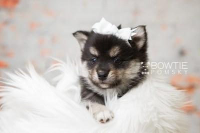 puppy82 week5 BowTiePomsky.com Bowtie Pomsky Puppy For Sale Husky Pomeranian Mini Dog Spokane WA Breeder Blue Eyes Pomskies Celebrity Puppy web2