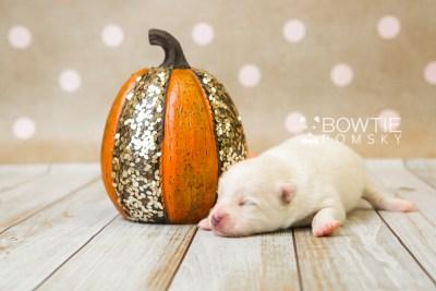 puppy83 week1 BowTiePomsky.com Bowtie Pomsky Puppy For Sale Husky Pomeranian Mini Dog Spokane WA Breeder Blue Eyes Pomskies Celebrity Puppy web2
