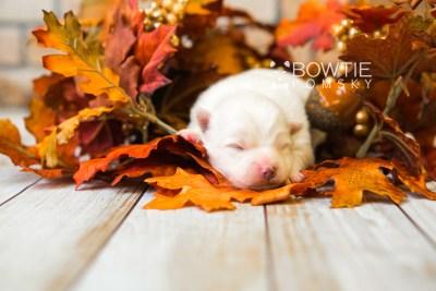 puppy83 week1 BowTiePomsky.com Bowtie Pomsky Puppy For Sale Husky Pomeranian Mini Dog Spokane WA Breeder Blue Eyes Pomskies Celebrity Puppy web5