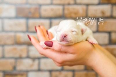 puppy83 week1 BowTiePomsky.com Bowtie Pomsky Puppy For Sale Husky Pomeranian Mini Dog Spokane WA Breeder Blue Eyes Pomskies Celebrity Puppy web6