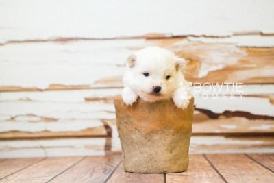 puppy83 week3 BowTiePomsky.com Bowtie Pomsky Puppy For Sale Husky Pomeranian Mini Dog Spokane WA Breeder Blue Eyes Pomskies Celebrity Puppy web2