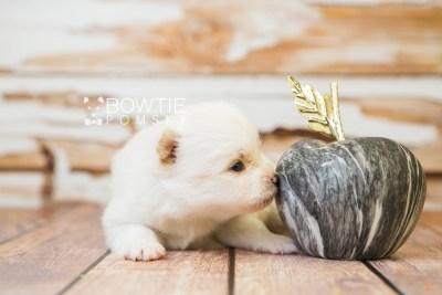 puppy83 week3 BowTiePomsky.com Bowtie Pomsky Puppy For Sale Husky Pomeranian Mini Dog Spokane WA Breeder Blue Eyes Pomskies Celebrity Puppy web4