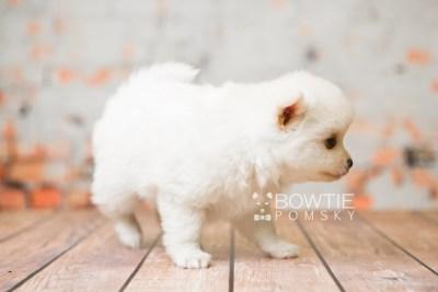 puppy83 week5 BowTiePomsky.com Bowtie Pomsky Puppy For Sale Husky Pomeranian Mini Dog Spokane WA Breeder Blue Eyes Pomskies Celebrity Puppy web1
