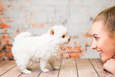 puppy83 week5 BowTiePomsky.com Bowtie Pomsky Puppy For Sale Husky Pomeranian Mini Dog Spokane WA Breeder Blue Eyes Pomskies Celebrity Puppy web2