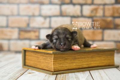 puppy84 week1 BowTiePomsky.com Bowtie Pomsky Puppy For Sale Husky Pomeranian Mini Dog Spokane WA Breeder Blue Eyes Pomskies Celebrity Puppy web3