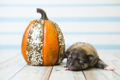 puppy84 week1 BowTiePomsky.com Bowtie Pomsky Puppy For Sale Husky Pomeranian Mini Dog Spokane WA Breeder Blue Eyes Pomskies Celebrity Puppy web4