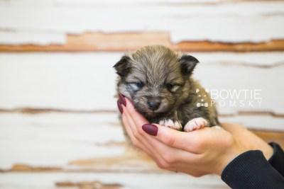 puppy84 week3 BowTiePomsky.com Bowtie Pomsky Puppy For Sale Husky Pomeranian Mini Dog Spokane WA Breeder Blue Eyes Pomskies Celebrity Puppy web1