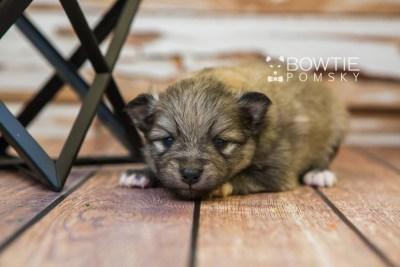 puppy84 week3 BowTiePomsky.com Bowtie Pomsky Puppy For Sale Husky Pomeranian Mini Dog Spokane WA Breeder Blue Eyes Pomskies Celebrity Puppy web2