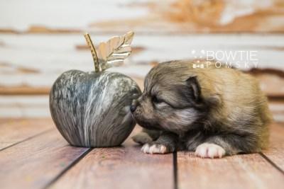 puppy84 week3 BowTiePomsky.com Bowtie Pomsky Puppy For Sale Husky Pomeranian Mini Dog Spokane WA Breeder Blue Eyes Pomskies Celebrity Puppy web4
