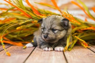 puppy84 week3 BowTiePomsky.com Bowtie Pomsky Puppy For Sale Husky Pomeranian Mini Dog Spokane WA Breeder Blue Eyes Pomskies Celebrity Puppy web5