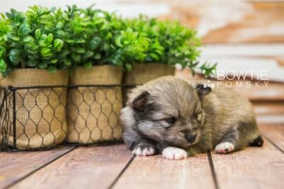 puppy84 week3 BowTiePomsky.com Bowtie Pomsky Puppy For Sale Husky Pomeranian Mini Dog Spokane WA Breeder Blue Eyes Pomskies Celebrity Puppy web6