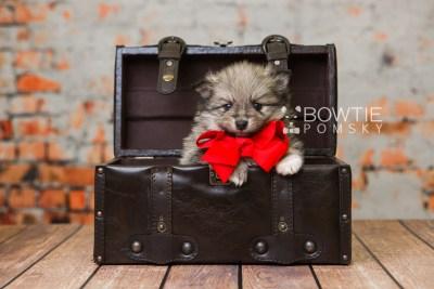 puppy84 week5 BowTiePomsky.com Bowtie Pomsky Puppy For Sale Husky Pomeranian Mini Dog Spokane WA Breeder Blue Eyes Pomskies Celebrity Puppy web1