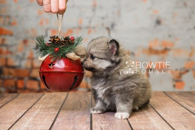 puppy84 week5 BowTiePomsky.com Bowtie Pomsky Puppy For Sale Husky Pomeranian Mini Dog Spokane WA Breeder Blue Eyes Pomskies Celebrity Puppy web5
