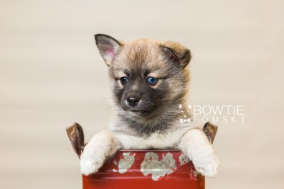 puppy77 week7 BowTiePomsky.com Bowtie Pomsky Puppy For Sale Husky Pomeranian Mini Dog Spokane WA Breeder Blue Eyes Pomskies Celebrity Puppy web1