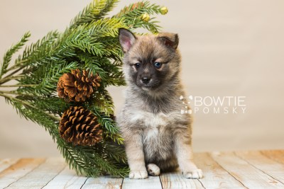 puppy77 week7 BowTiePomsky.com Bowtie Pomsky Puppy For Sale Husky Pomeranian Mini Dog Spokane WA Breeder Blue Eyes Pomskies Celebrity Puppy web2