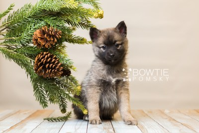 puppy79 week7 BowTiePomsky.com Bowtie Pomsky Puppy For Sale Husky Pomeranian Mini Dog Spokane WA Breeder Blue Eyes Pomskies Celebrity Puppy web3