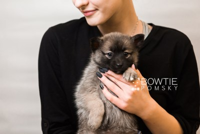 puppy79 week7 BowTiePomsky.com Bowtie Pomsky Puppy For Sale Husky Pomeranian Mini Dog Spokane WA Breeder Blue Eyes Pomskies Celebrity Puppy web6