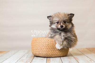 puppy84 week7 BowTiePomsky.com Bowtie Pomsky Puppy For Sale Husky Pomeranian Mini Dog Spokane WA Breeder Blue Eyes Pomskies Celebrity Puppy web3