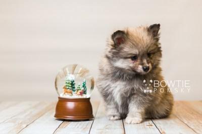 puppy84 week7 BowTiePomsky.com Bowtie Pomsky Puppy For Sale Husky Pomeranian Mini Dog Spokane WA Breeder Blue Eyes Pomskies Celebrity Puppy web5