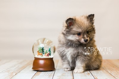 puppy84 week7 BowTiePomsky.com Bowtie Pomsky Puppy For Sale Husky Pomeranian Mini Dog Spokane WA Breeder Blue Eyes Pomskies Celebrity Puppy web5