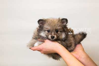puppy84 week7 BowTiePomsky.com Bowtie Pomsky Puppy For Sale Husky Pomeranian Mini Dog Spokane WA Breeder Blue Eyes Pomskies Celebrity Puppy web6