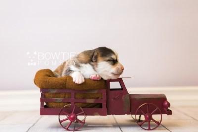 puppy85 week1 BowTiePomsky.com Bowtie Pomsky Puppy For Sale Husky Pomeranian Mini Dog Spokane WA Breeder Blue Eyes Pomskies Celebrity Puppy web2