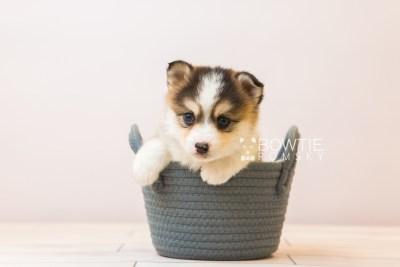 puppy85 week5 BowTiePomsky.com Bowtie Pomsky Puppy For Sale Husky Pomeranian Mini Dog Spokane WA Breeder Blue Eyes Pomskies Celebrity Puppy web1