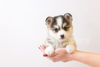 puppy85 week5 BowTiePomsky.com Bowtie Pomsky Puppy For Sale Husky Pomeranian Mini Dog Spokane WA Breeder Blue Eyes Pomskies Celebrity Puppy web6
