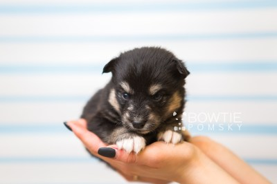 puppy86 week3 BowTiePomsky.com Bowtie Pomsky Puppy For Sale Husky Pomeranian Mini Dog Spokane WA Breeder Blue Eyes Pomskies Celebrity Puppy web1
