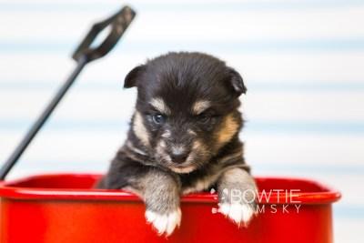 puppy86 week3 BowTiePomsky.com Bowtie Pomsky Puppy For Sale Husky Pomeranian Mini Dog Spokane WA Breeder Blue Eyes Pomskies Celebrity Puppy web6