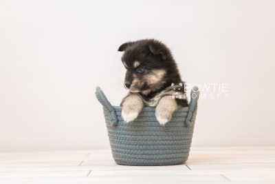 puppy86 week5 BowTiePomsky.com Bowtie Pomsky Puppy For Sale Husky Pomeranian Mini Dog Spokane WA Breeder Blue Eyes Pomskies Celebrity Puppy web5