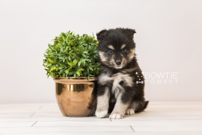 puppy86 week5 BowTiePomsky.com Bowtie Pomsky Puppy For Sale Husky Pomeranian Mini Dog Spokane WA Breeder Blue Eyes Pomskies Celebrity Puppy web6