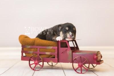 puppy87 week1 BowTiePomsky.com Bowtie Pomsky Puppy For Sale Husky Pomeranian Mini Dog Spokane WA Breeder Blue Eyes Pomskies Celebrity Puppy web2