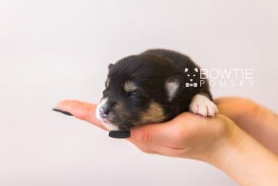 puppy87 week1 BowTiePomsky.com Bowtie Pomsky Puppy For Sale Husky Pomeranian Mini Dog Spokane WA Breeder Blue Eyes Pomskies Celebrity Puppy web5