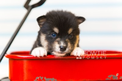 puppy87 week3 BowTiePomsky.com Bowtie Pomsky Puppy For Sale Husky Pomeranian Mini Dog Spokane WA Breeder Blue Eyes Pomskies Celebrity Puppy web3