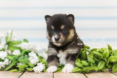 puppy87 week3 BowTiePomsky.com Bowtie Pomsky Puppy For Sale Husky Pomeranian Mini Dog Spokane WA Breeder Blue Eyes Pomskies Celebrity Puppy web5
