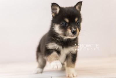 puppy87 week5 BowTiePomsky.com Bowtie Pomsky Puppy For Sale Husky Pomeranian Mini Dog Spokane WA Breeder Blue Eyes Pomskies Celebrity Puppy web4