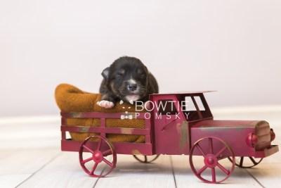 puppy88 week1 BowTiePomsky.com Bowtie Pomsky Puppy For Sale Husky Pomeranian Mini Dog Spokane WA Breeder Blue Eyes Pomskies Celebrity Puppy web2