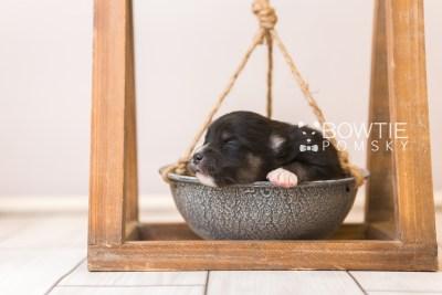 puppy88 week1 BowTiePomsky.com Bowtie Pomsky Puppy For Sale Husky Pomeranian Mini Dog Spokane WA Breeder Blue Eyes Pomskies Celebrity Puppy web5