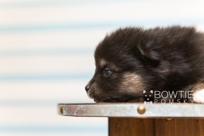 puppy88 week3 BowTiePomsky.com Bowtie Pomsky Puppy For Sale Husky Pomeranian Mini Dog Spokane WA Breeder Blue Eyes Pomskies Celebrity Puppy web5