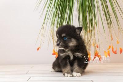 puppy88 week5 BowTiePomsky.com Bowtie Pomsky Puppy For Sale Husky Pomeranian Mini Dog Spokane WA Breeder Blue Eyes Pomskies Celebrity Puppy web2