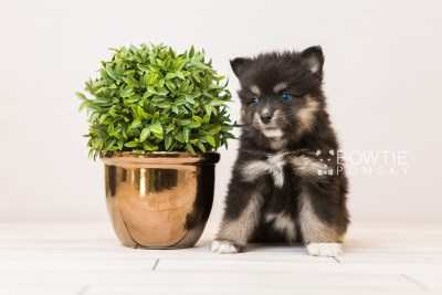 puppy88 week5 BowTiePomsky.com Bowtie Pomsky Puppy For Sale Husky Pomeranian Mini Dog Spokane WA Breeder Blue Eyes Pomskies Celebrity Puppy web4