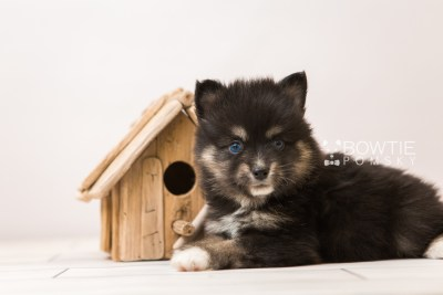 puppy88 week5 BowTiePomsky.com Bowtie Pomsky Puppy For Sale Husky Pomeranian Mini Dog Spokane WA Breeder Blue Eyes Pomskies Celebrity Puppy web5