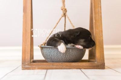 puppy89 week1 BowTiePomsky.com Bowtie Pomsky Puppy For Sale Husky Pomeranian Mini Dog Spokane WA Breeder Blue Eyes Pomskies Celebrity Puppy web4