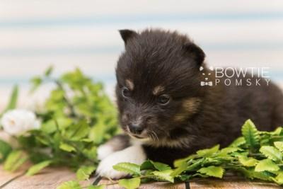 puppy89 week3 BowTiePomsky.com Bowtie Pomsky Puppy For Sale Husky Pomeranian Mini Dog Spokane WA Breeder Blue Eyes Pomskies Celebrity Puppy web2