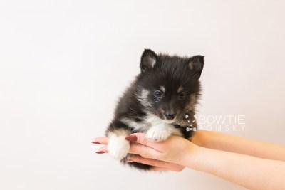 puppy89 week5 BowTiePomsky.com Bowtie Pomsky Puppy For Sale Husky Pomeranian Mini Dog Spokane WA Breeder Blue Eyes Pomskies Celebrity Puppy web1
