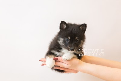 puppy89 week5 BowTiePomsky.com Bowtie Pomsky Puppy For Sale Husky Pomeranian Mini Dog Spokane WA Breeder Blue Eyes Pomskies Celebrity Puppy web1