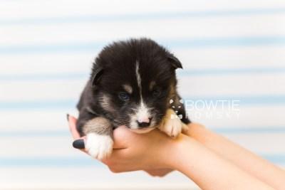 puppy90 week3 BowTiePomsky.com Bowtie Pomsky Puppy For Sale Husky Pomeranian Mini Dog Spokane WA Breeder Blue Eyes Pomskies Celebrity Puppy web1